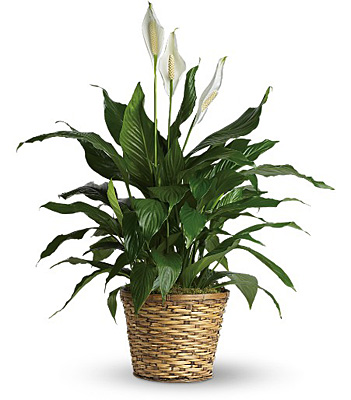Simply Elegant Spathiphyllum - Medium from Richardson's Flowers in Medford, NJ
