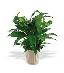 Spathiphyllum Plant from Richardson's Flowers in Medford, NJ
